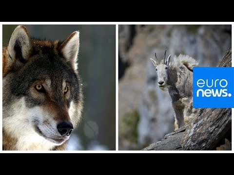 Mountain goat versus hungry wolf: who wins?
