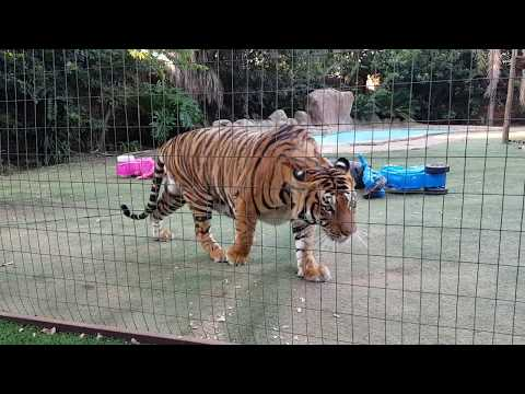 Tigers likes different types of chicken !