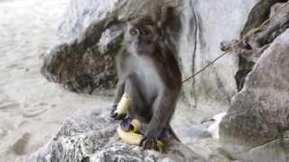 Жадная обезьяна ( monkey ) ест банан.
