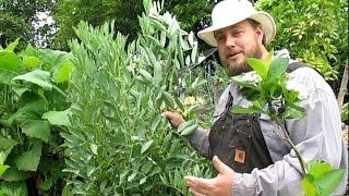 Growing Fava Beans | Amazing Ancient Food Crop & Soil Builder!