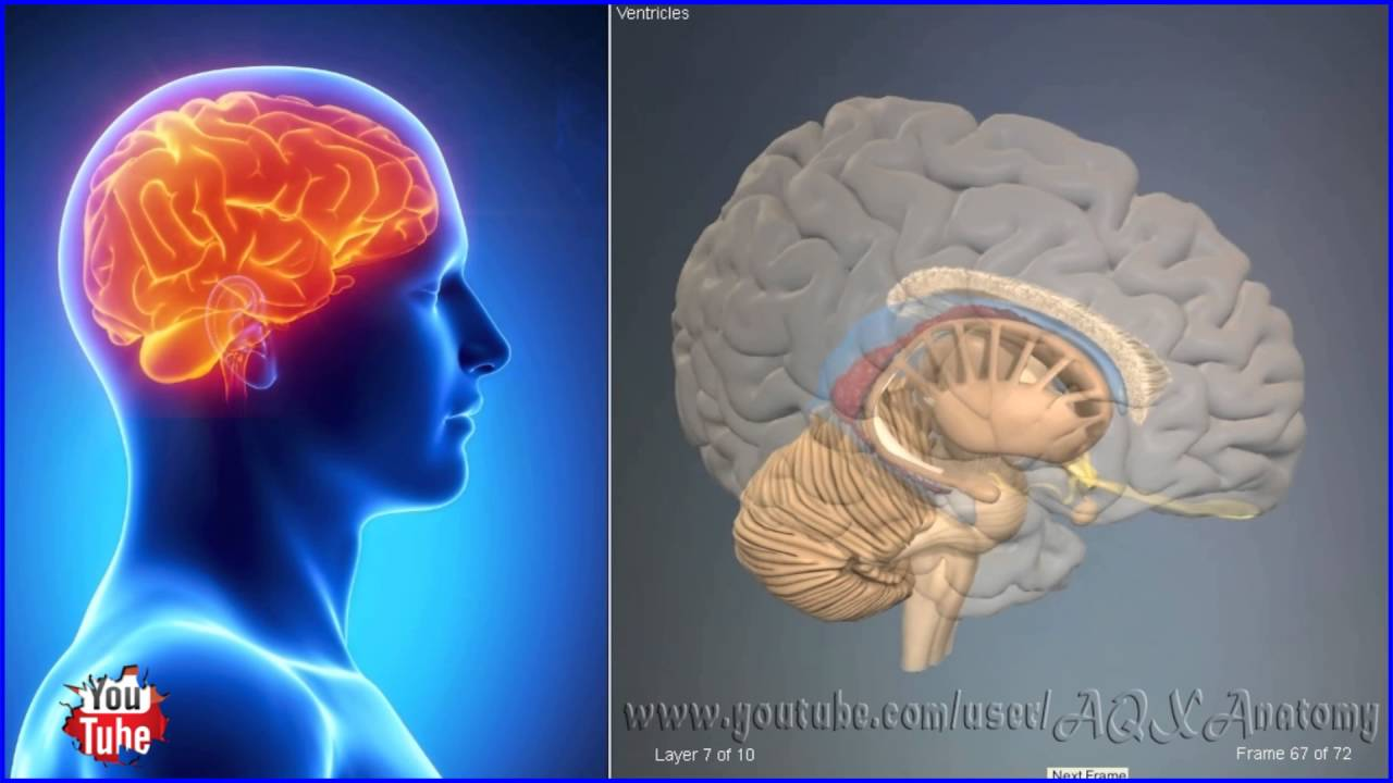 Ventricles brain | 3D Human Anatomy | Organs - YouTube