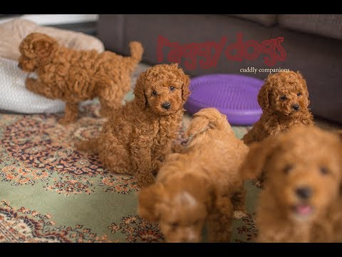 Cavoodle dogs playing & barking with their 7.5 week old puppies - make you laugh out loud