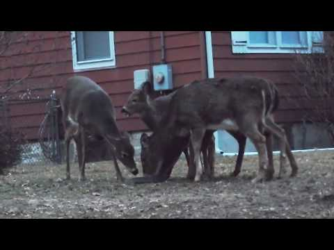 Family of deer feed in nature, 2017 | HD