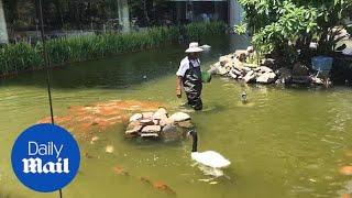 School of koi fish follow keeper during feeding time