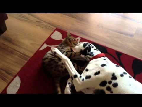 Bengal Cat Attack, Loki vs Lucky,  Bengal Cat vs Dalmatian Dog, EPIC