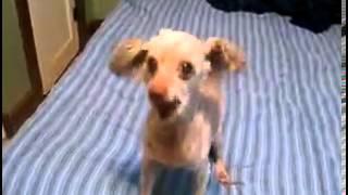 Pies mówi śpiewa tańczy :)