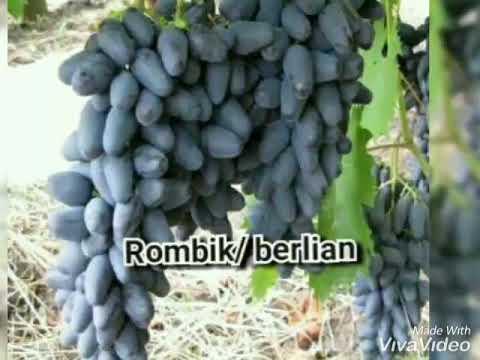 jual-bibit-anggur-impor-jenis-diamond-dll-wa-085733660033