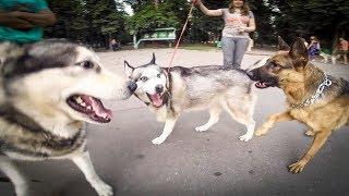 Немецкая овчарка нападает на стаю хаски  |  собаки на прогулке