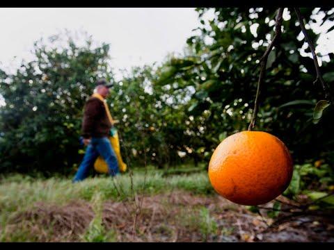 Irma's Path Puts Florida Oranges, Sugar in Danger