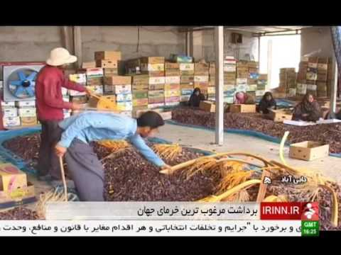Iran Haji-Abad county, Harvesting Organic Piarom Date برداشت خرماي پيارم شهرستان حاجي آباد ايران