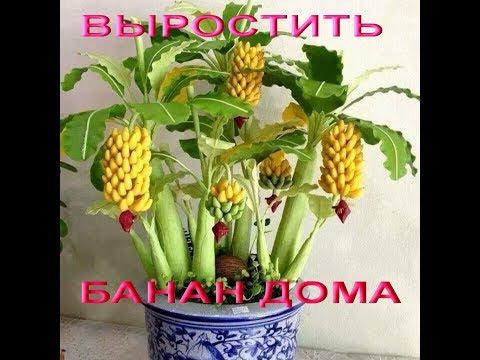 Банан в горшке из семян. Выращивание карликового банана из семян ☼