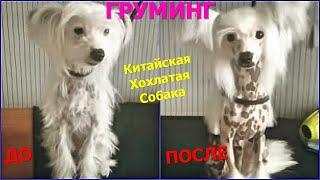 Груминг китайской хохлатой голой собаки До и после