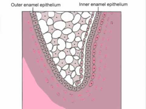 Tooth development - YouTube