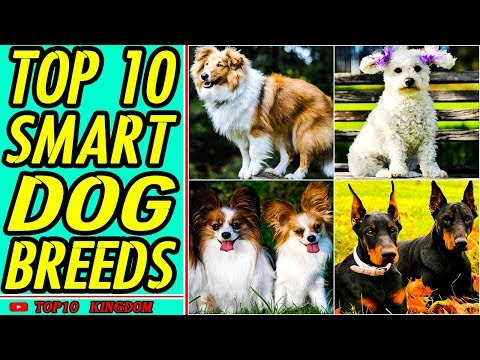 TOP 10 Most Intelligent Dog Breeds By Science
