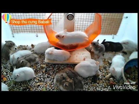 Hamster tại Shop thú cưng Babali