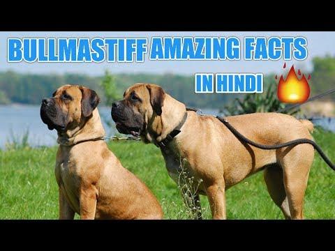 Bullmastiff dog facts | in Hindi | Bullmastiff facts | popular facts