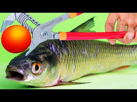 EXPERIMENT Glowing 1000 Degree METAL BALL VS FISH Herring