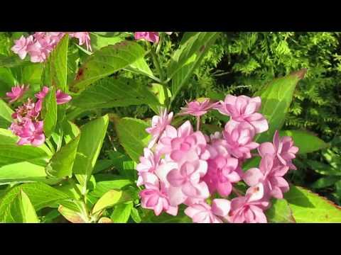 01 09 17г Цветение саженцев гортензии крупнолистной сорта «Романс» в возрасте 5 лет