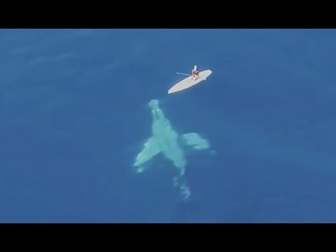 Морничава убавина: Под даска за сурфање му пливаат китови