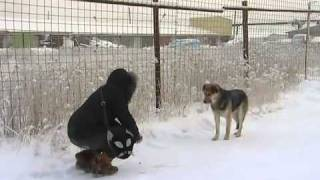 Hachiko from Yakutsk: A dog