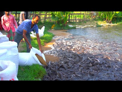 Grow Out Culture Of Catfish Farm In Asia   Million Of Catfish Eating Floating Feed In Pond