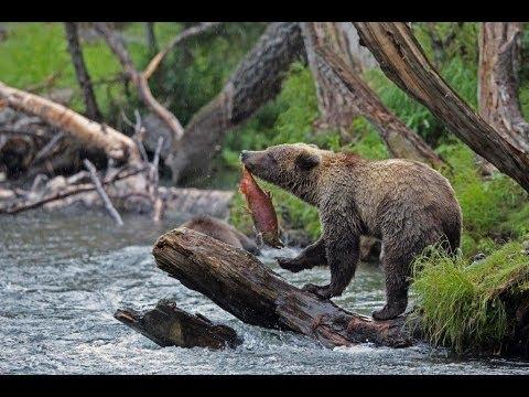 Grizzly / brown bear Cooper Landing, Russian River, Alaska, 2013
