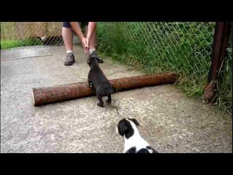 Whippet X Greyhound - 5 Week Old Pups.