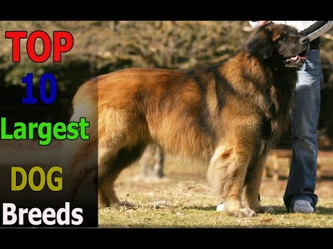 Top 10 animals: Top 10 largest dog breeds