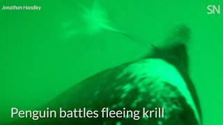 Watch lobster krill fight back against hungry gentoo penguins | Science News thumbnail