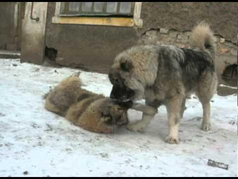 фото кавказской собаки