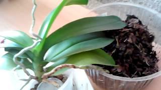 видео Черенкование старой орхидеи фаленопсис, разделение розетки