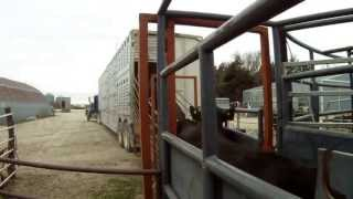LOADING COWS ON A FARM IN KANSAS
