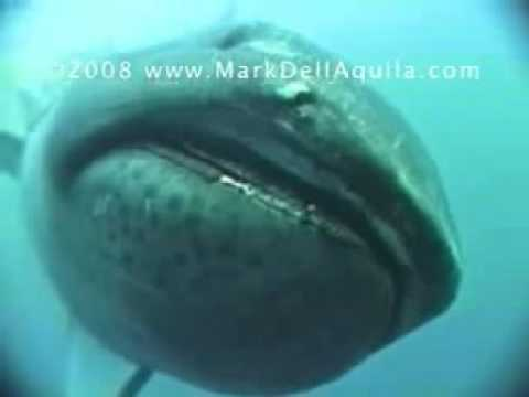 megamouth shark youtube