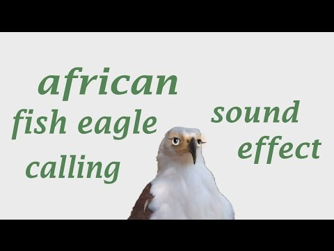 the animal sounds african fish eagle calling sound effect animation youtube. Black Bedroom Furniture Sets. Home Design Ideas