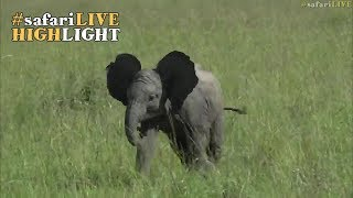 Precocious elephant picks on other youngsters thumbnail