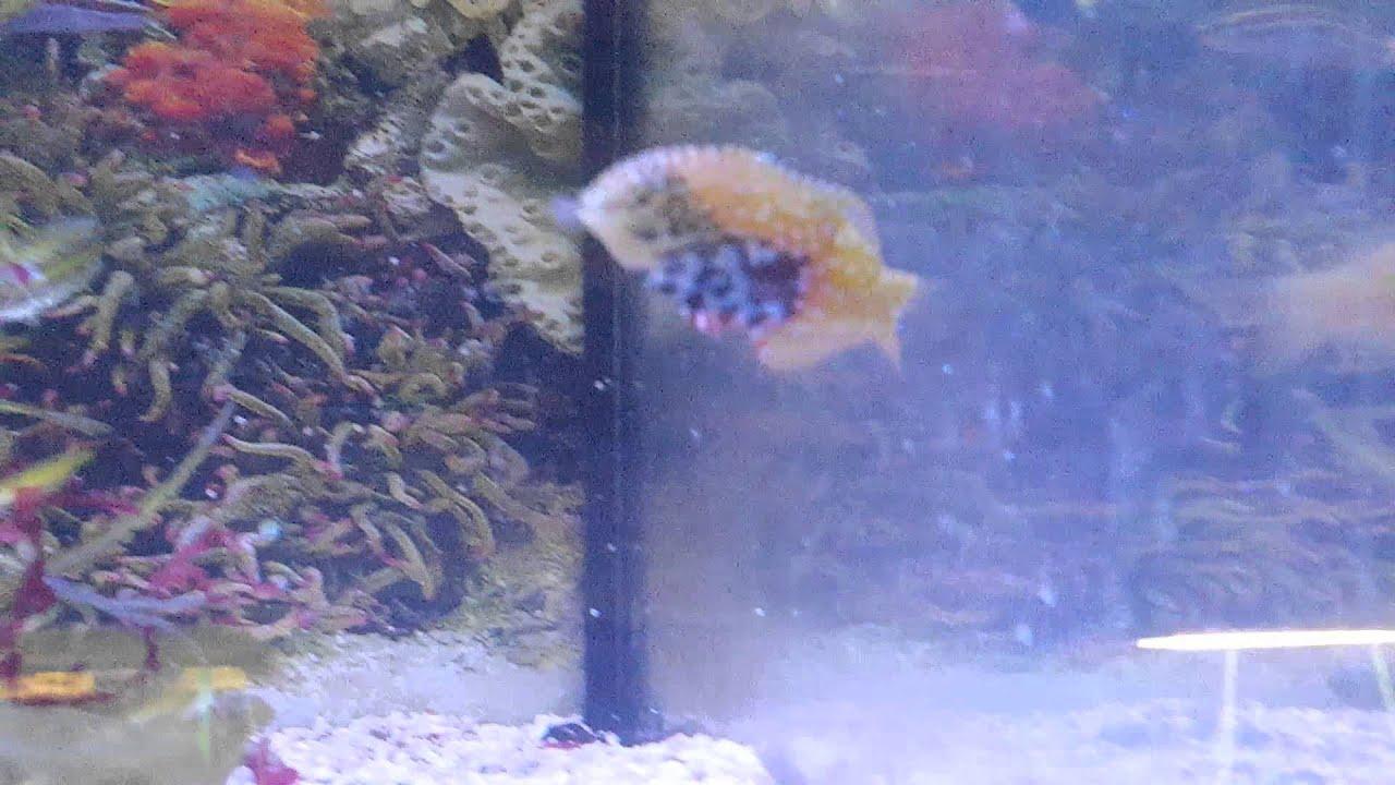 Großzahn Lippfisch