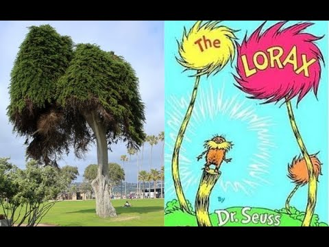 The Tree That Inspired Dr Seuss The Lorax Has Fallen Youtube