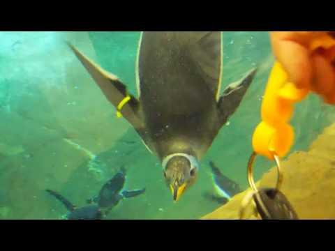 Cute Baby Antarctic Penguins Very  Playful