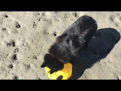 Schipperke dog destroys a beach ball