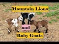 Mountain Lion and Baby Goats and Electric Fence !