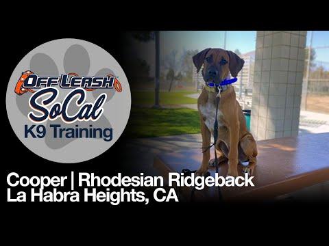 Rhodesian Ridgeback Off Leash K9 Training   Cooper   La Habra Heights, CA   OffLeash SoCal