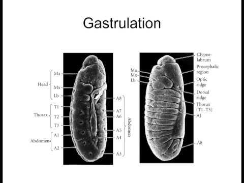 Lecture 5 Invertebrate Model Organisms