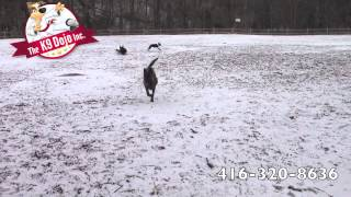 German Shepherd Displays Obedience Commands: Leave It