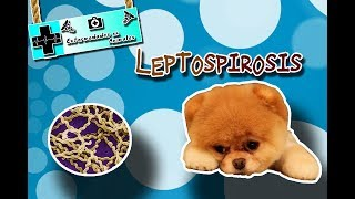 Leptospirosis (La zoonosis que afecta el riñón) |Enfermedades de los animales|