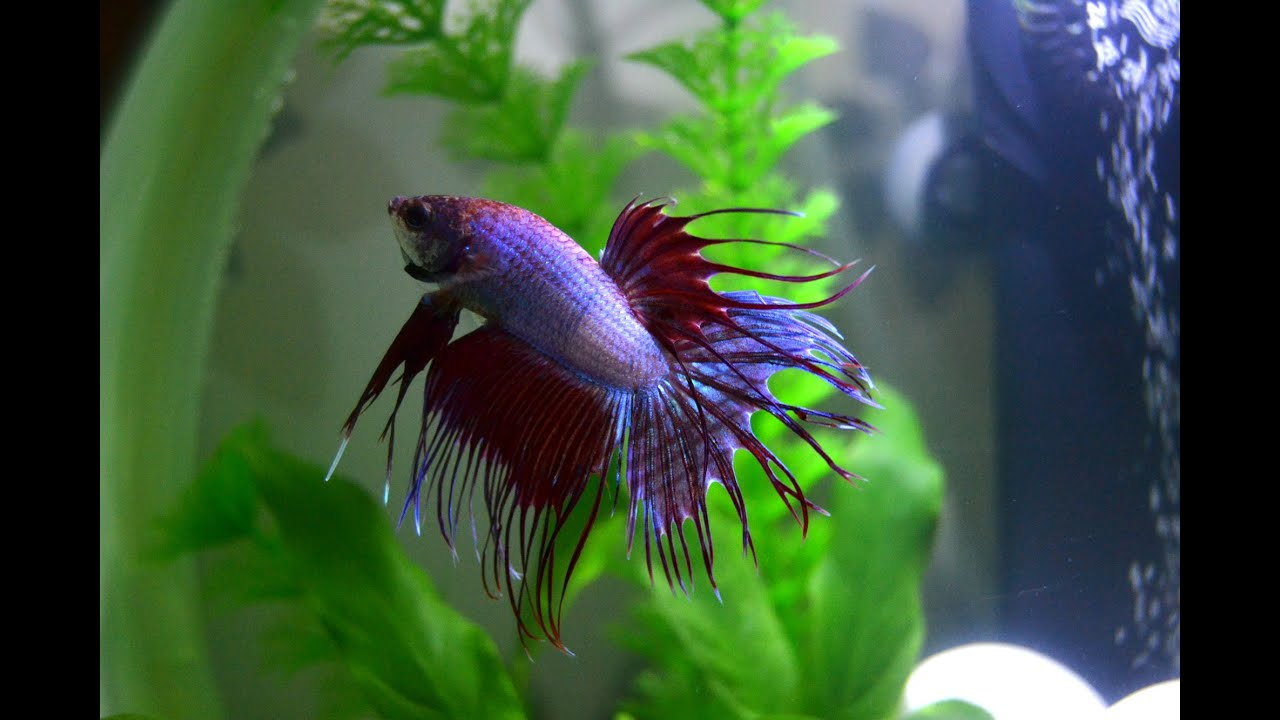 Welcome home grimm my new cambodian multicolor crowntail for Crowntail betta fish