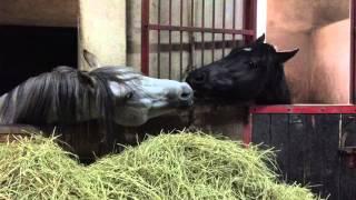Horses kissing - Konie się całują