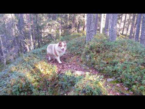 Hiking with Finnish Lapphund