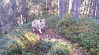 Hiking with Finnish Lapphund