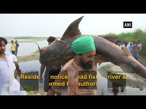 Large number of fish found dead in Punjab's Beas river