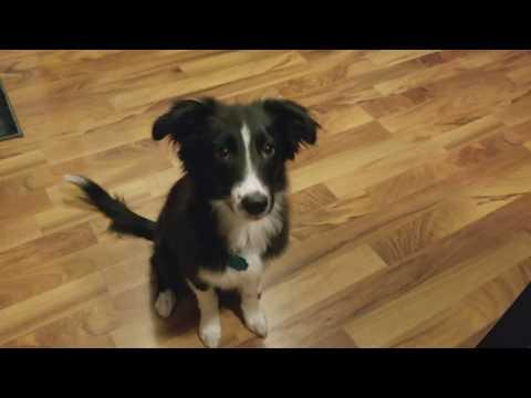 Training Border Collie/Australian Shepard puppy